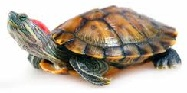 Worlds Best Turtle Names Red Eared Slider Turtle